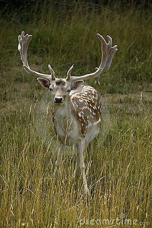 Adult French Deer
