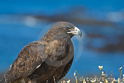 Adult Galapagos Hawk