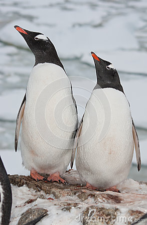 Adult gentoo penguin couple.