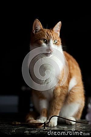 Adult ginger cat