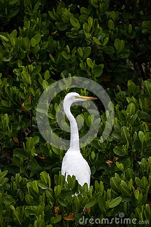 Free Adult Great Egret Bird Ardea Alba Perches In A Tree Royalty Free Stock Images - 118181559