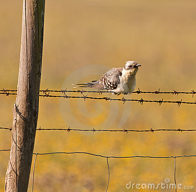 An adult Great Spotted Cuckoo