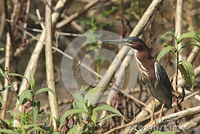 Adult green heron