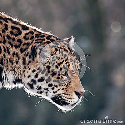 Adult jaguar