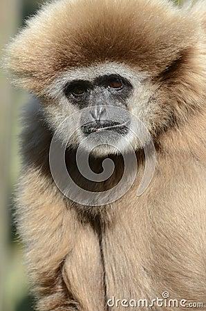 Free Adult Lar Gibbon (white Handed Gibbon) Stock Photos - 23599183