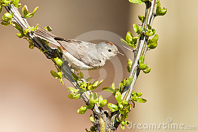 Adult Lucy s Warbler