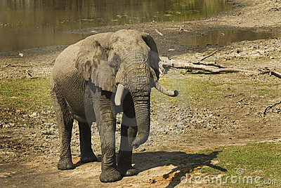Adult male african elephant