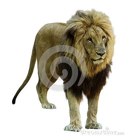 Free Adult Male Lion. Isolated  On White Royalty Free Stock Images - 47485819