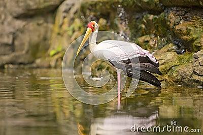 Adult Milky Stork