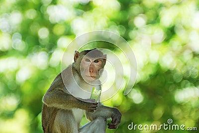 The adult monkey