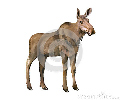 Adult moose without horns, Isolated on white