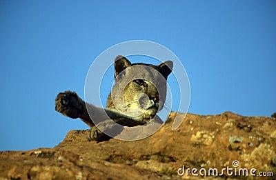 Adult Mountain Lion