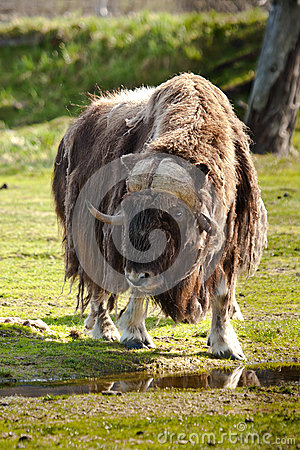 Adult Musk Ox