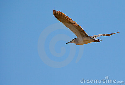 Adult Night Heron in flight