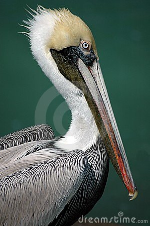 Free Adult Pelican Stock Photography - 567182