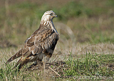 Adult Rough legged hawk