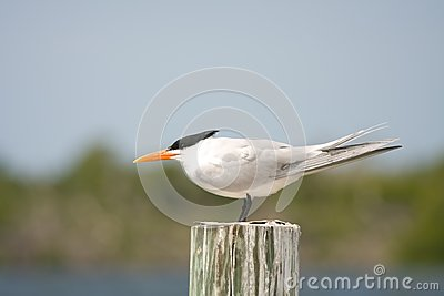 An adult Royal Tern faces into the wind