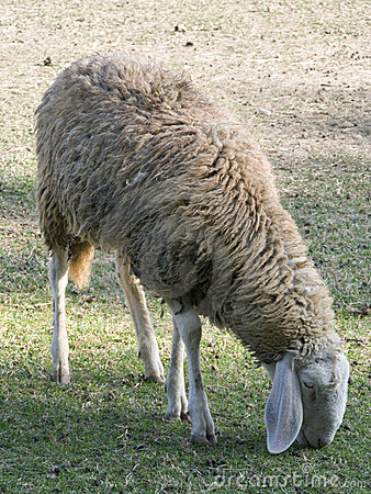 Adult sheep