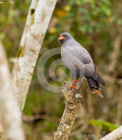Adult Snail Kite