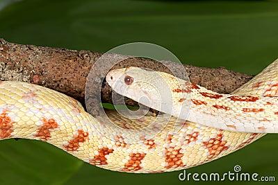 Adult snake