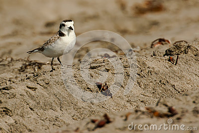Adult Snow Plover