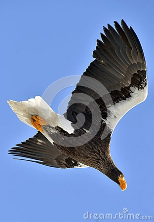 Free Adult Steller`s Sea Eagle In Flight. Stock Images - 112156554