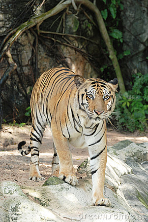 Adult Sumatran tiger