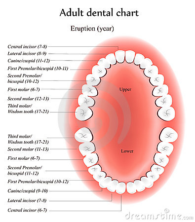 Adult Teeth anatomy
