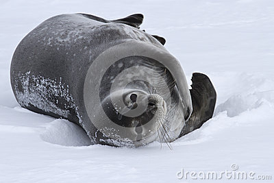 Adult Weddell seal which lies in the snow Antarctic