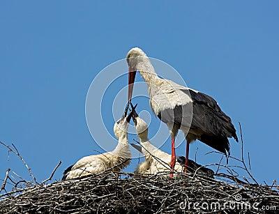 Adult White storks feeding chicks