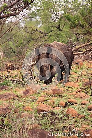 Adult wild white rhinoceros