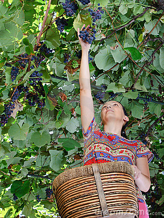 Adult woman harvesting grapes