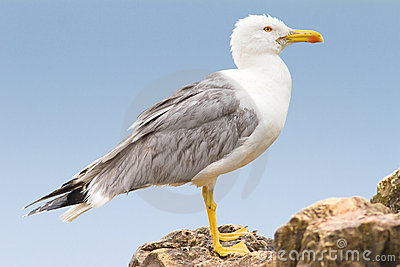 An adult of yellow legged-gull / Larus cachinnans