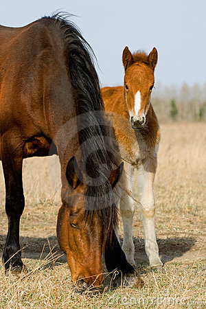 Adult and young horse and foal