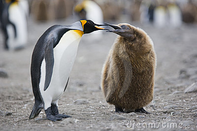 Adult and young King penguin