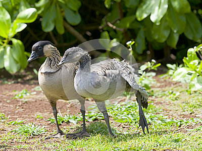 Adult with Young Nene Goose