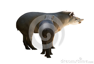 Adult and young tapirs. Isolated