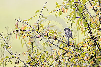 选拔栖息在山雀的长尾的黑色(aegithaloscaudatus)蜱虫哪个地方最多图片