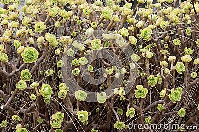 Aeonium arboreum in Galicia, Spain.