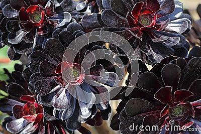 Aeonium Black Rose flowers