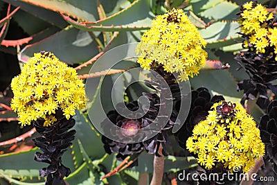 Aeonium svarta Rose i blom