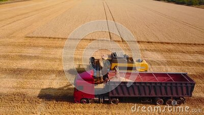 Aerial drone view. Overloading grain from combine harvesters into grain truck in field. Harvester unloder pouring. Harvested wheat into box body. Farmers at stock footage