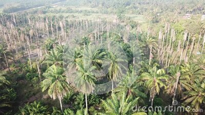 Aerial fly toward dead bare tree oil palm stock video footage