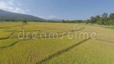 Aerial flyover of rice paddy stock video footage