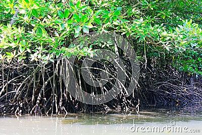Aerial Mangrove Tree Roots