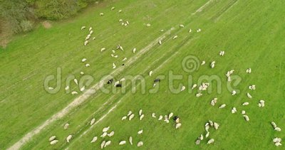 Aerial motion view over flock of sheep grazing in the field stock video footage