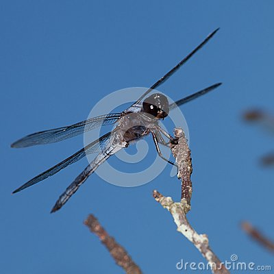 Aerial predator