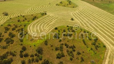 Aerial of Rows of Hay Wheat in Paddock stock video footage