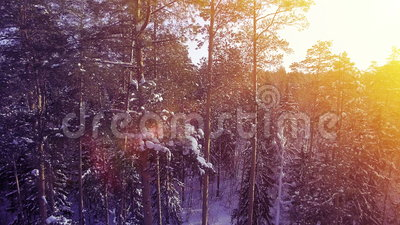 AERIAL Sun light winter warm sunset fly among pine snow tree forest beautiful nice north shot 4k uhd. AERIAL Sun light winter warm sunset camera smooth move fly stock video footage