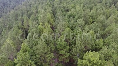 Aerial view pine forest tour of Kragilan Magelang, Indonesia. Aerial drone shot stock video footage
